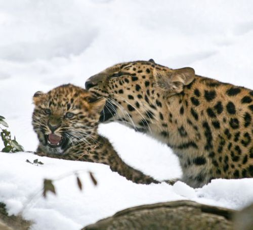 leopard cub 1.jpg